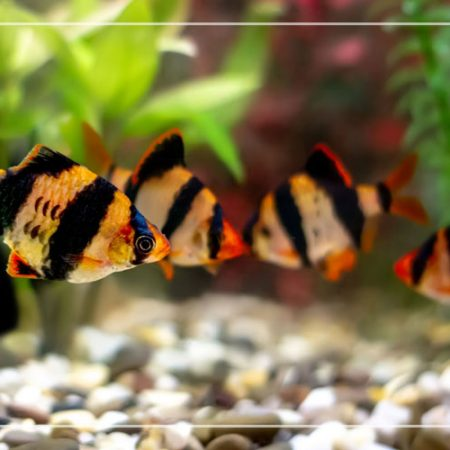 Everything You Need To Know About TheTiger Barb Male Or Female